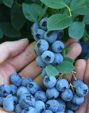 200 American Giant Blueberry Seeds