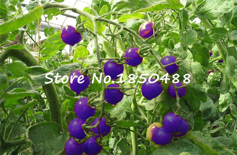 Purple Tomato Seeds 100 Pcs
