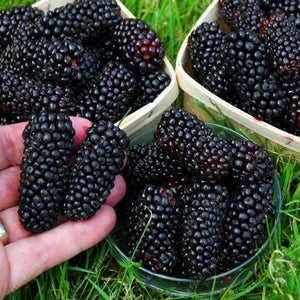 200 Pcs Blackberry Seeds