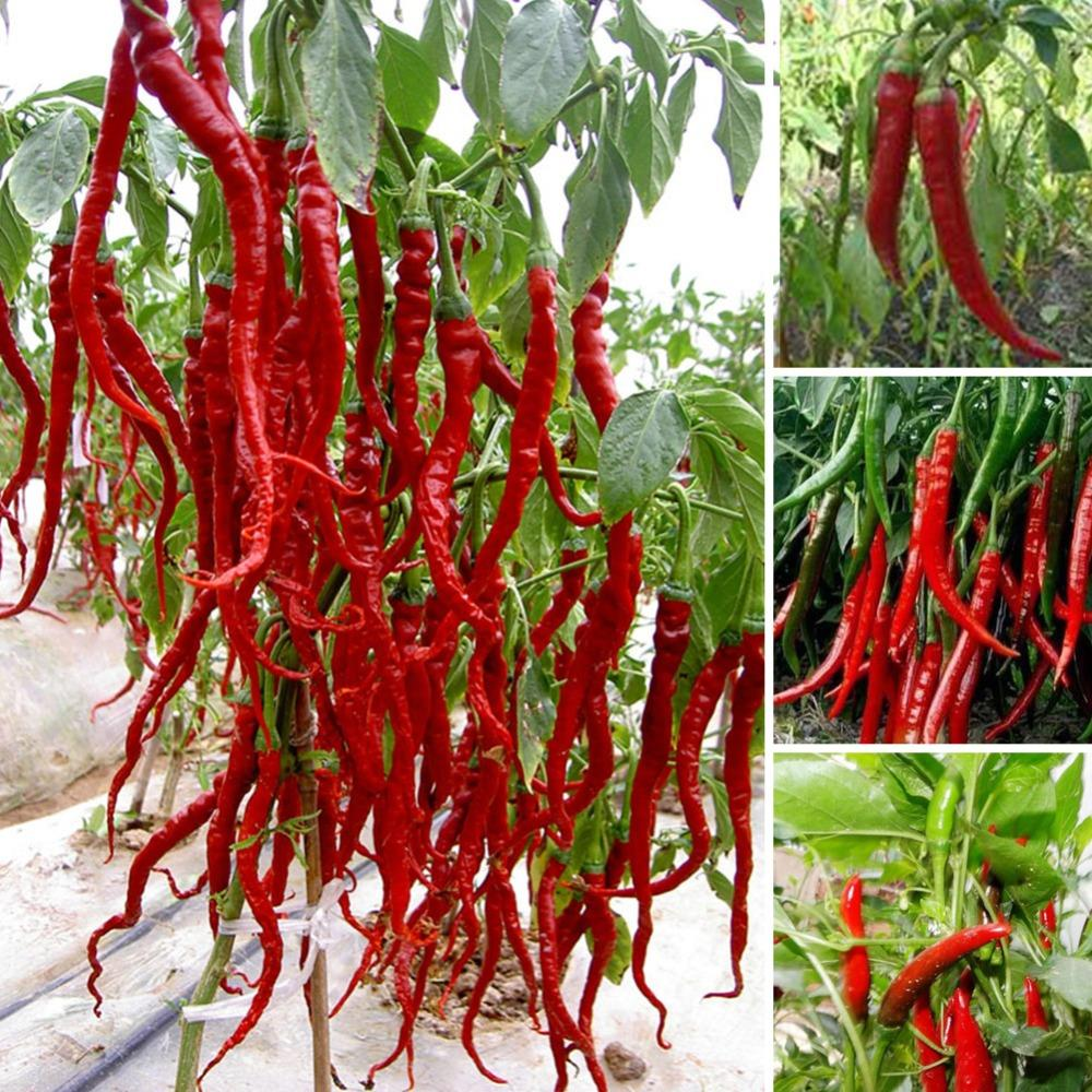 200 Seeds Giant Hot Pepper Seeds