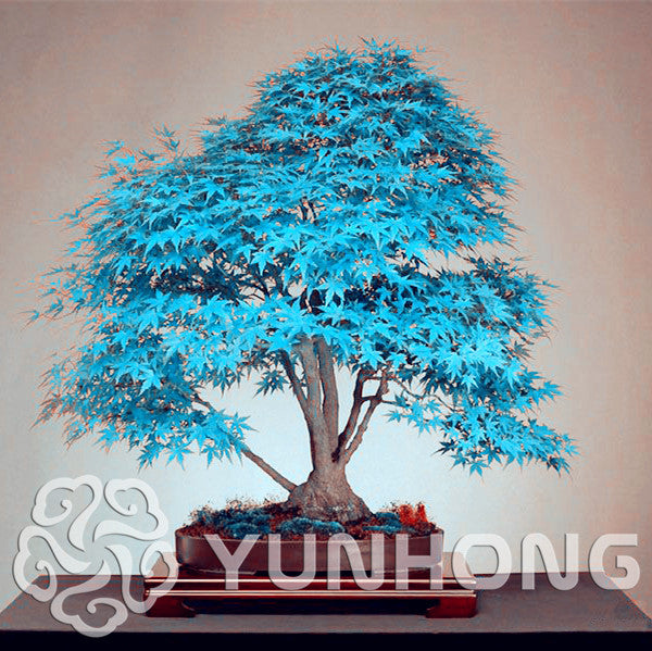 50pcs Purple Blue Ghost Japanese Maple Tree, (Acer Palatum),Bonsai Flower Seeds,Tree Seeds,Potted Plant For Home & garden