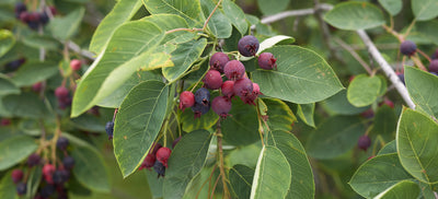 Native Berry-Producing Plants