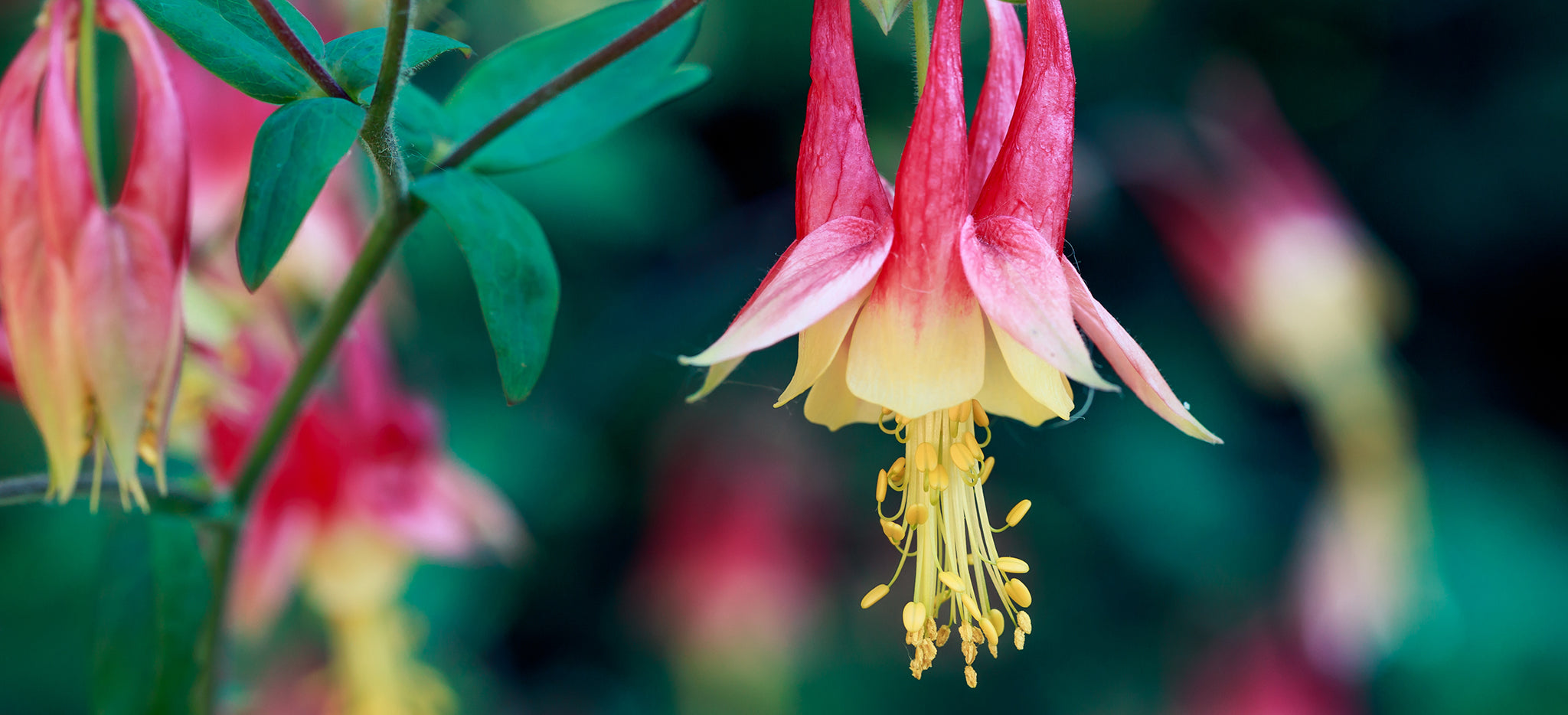Image result for american beauties native plants