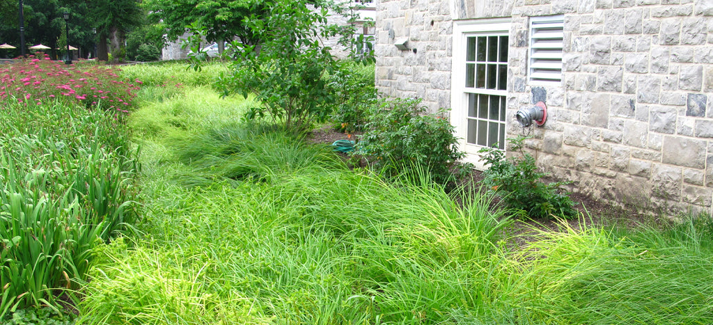 backyard with green native plants-american beauties native plants