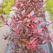 <i>Itea virginica </i> Fountains of Rouge™ <br>Virginia Sweetspire