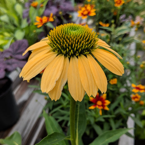 <i>Echinacea purpurea</i> 'Mellow Yellows'<br>Coneflower