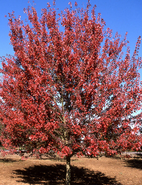 <i>Acer rubrum</i> 'Autumn Flame'<br>Red Maple