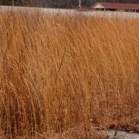 <i>Andropogon virginicus</i><br>Broomsedge