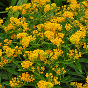 <i>Asclepias tuberosa</i> 'Hello Yellow'<br>Butterfly Weed