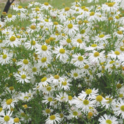 <i>Boltonia asteroides var. latisquama</i> 'Snowbank'<br>False aster or white doll's daisy