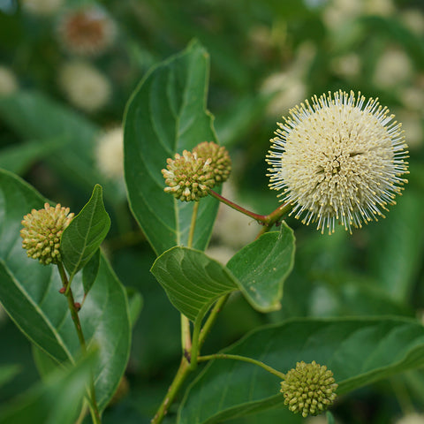 <i>Cephalanthus occidentalis</i> Crimson Commet™<br>Button Bush
