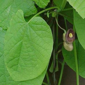 <i>Aristolochia macrophylla</i><br>Dutchman's Pipe