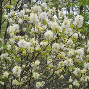 <i>Fothergilla major</i><br>Mountain Witchalder