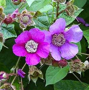 <i>Rubus odoratus</i><br>Flowering Raspberry