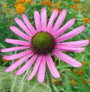 <i>Echinacea tennesseensis</i><br>Tennessee Coneflower