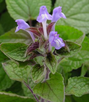 <i>Scutellaria ovata</i><br>Heart-leaved Skullcap