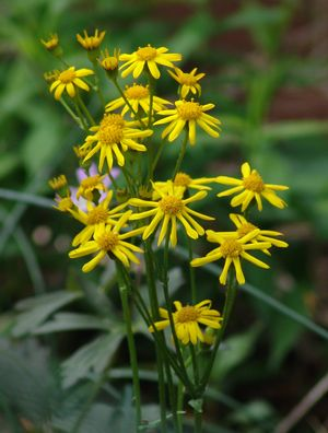 <i>Packera aurea</i><br>Golden Groundsel