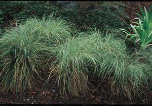 <i>Carex stricta</i><br>Tussock Sedge