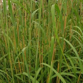<i>Andropogon gerardii</i><br>Big Bluestem