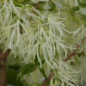 <i>Chionanthus virginicus</i><br>Grancy Graybeard