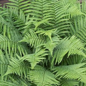 <i>Dryopteris filix-mas</i><br>Male fern