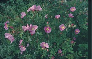 <i>Rosa palustris</i><br>Swamp Rose