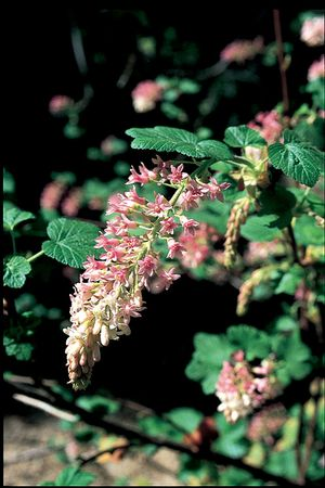 <i>Ribes sanguineum</i><br>Red Flowering Currant