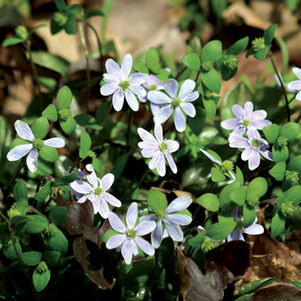 <i>Hepatica acutiloba</i><br>Sharp Leaved Hepatica