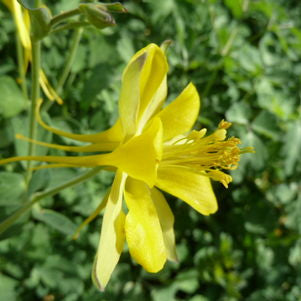 <i>Aquilegia chrysantha</i><br>Golden Columbine