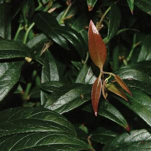 <i>Leucothoe axillaris</i> 'Squirt'<br>Squirt Compact Leucothoe