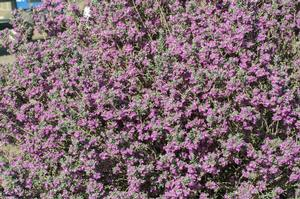 <i>Leucophyllum frutescens</i> 'Green Cloud'<br>Green Cloud Texas Ranger