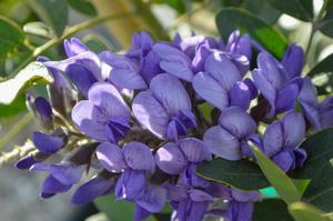 <i>Sophora secundiflora</i><br>Texas Mountain Laurel