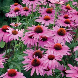 <i>Echinacea purpurea</i><br>Eastern Purple Coneflower