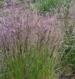 <i>Deschampsia cespitosa</i> 'Pixie Fountain'<br>Pixie Fountain Tufted Hair Grass