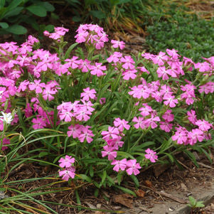 <i>Silene caroliniana</i> 'Short and Sweet'<br>Wild Pinks or Catchfly