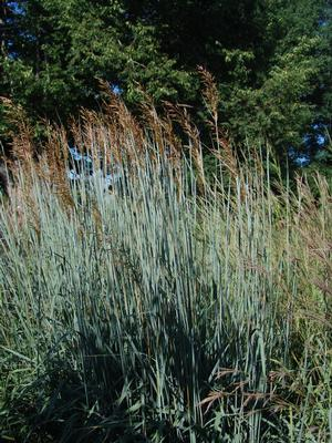 <i>Sorghastrum nutans</i> 'Sioux Blue'<br>Sioux Blue Indian Grass