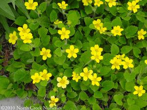 <i>Chrysogonum virginianum var. australe</i><br>Green and gold