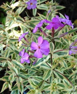 <i>Phlox glaberrima ssp. triflora</i> 'Triple Play'<br>Smooth phlox