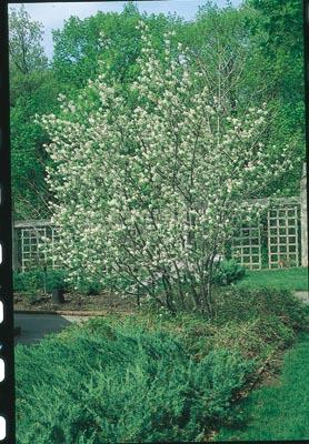 <i>Amelanchier arborea</i><br>Downy serviceberry