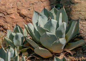 <i>Agave parryi</i><br>Parry's agave