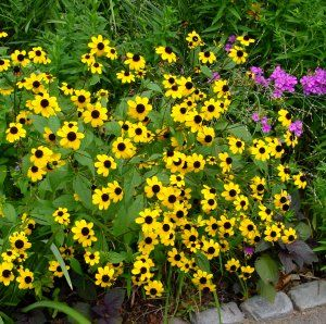 <i>Rudbeckia triloba</i><br>Three-lobed Coneflower