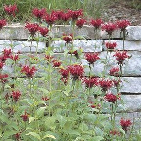 <i>Monarda didyma</i> 'Jacob Cline'<br>Bee Balm