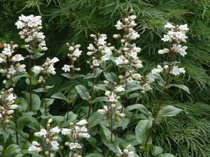 <i>Penstemon digitalis</i> 'Husker Red'<br>Tall White Beardtongue