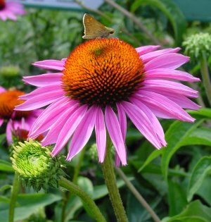 <i>Echinacea purpurea</i> 'Ruby Star'<br>Coneflower