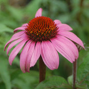 <i>Echinacea purpurea</i> 'Magnus'<br>Purple coneflower