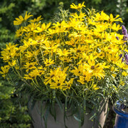 <i>Helianthus salicifolius</i> 'Autumn Gold'<br>Willowleaf sunflower