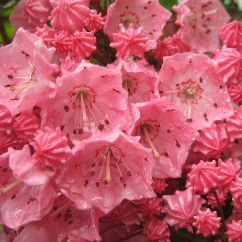 <i>Kalmia latifolia</i> 'Pink Charm'<br>Mountain Laurel