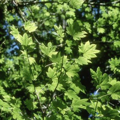 <i>Acer circinatum</i><br>Vine Maple