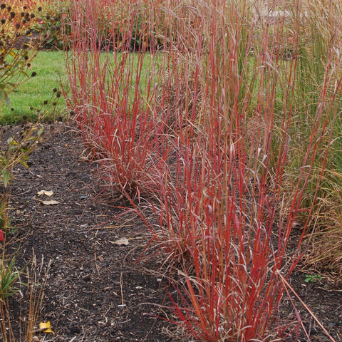 <i>Andropogon gerardii</i> 'Red October'<br>Big bluestem