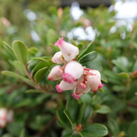 <i>Arctostaphylos uva-ursi</i> 'Massachusetts'<br>Common Bearberry